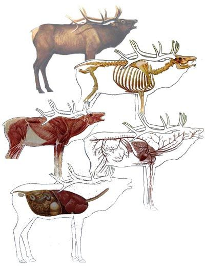 Where are the Vital Targets in Elk Anatomy
