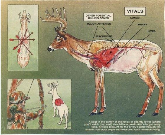 What Should You Know About Anatomy of An Elk? - Archery