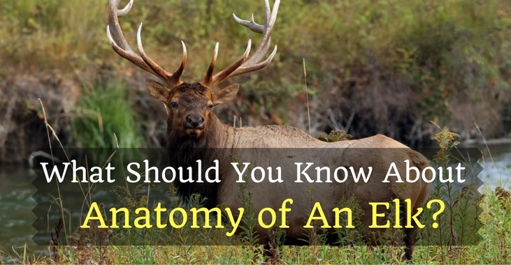 Anatomy of An Elk