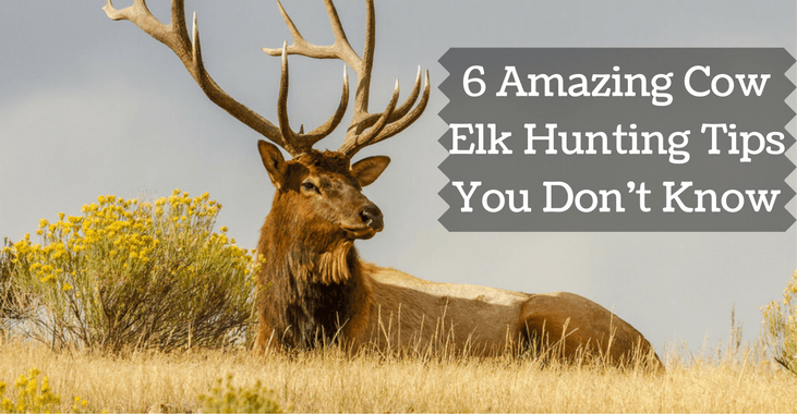 cow elk hunting tips