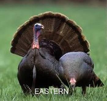 estern turkey