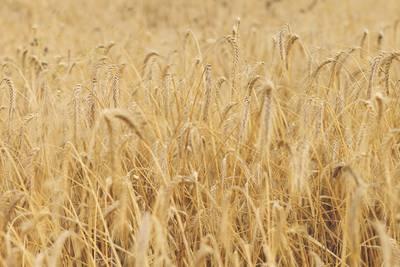 millet grass