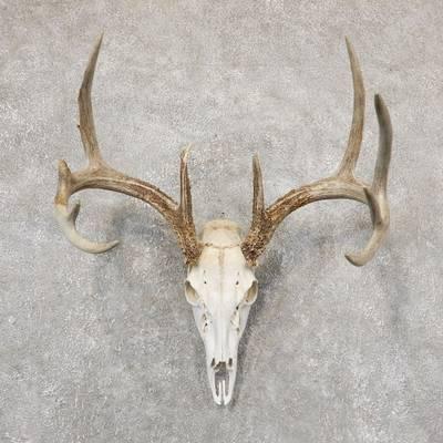 Skull-European Mount