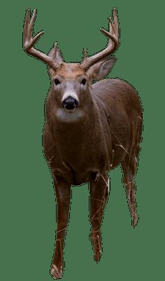 deer head on