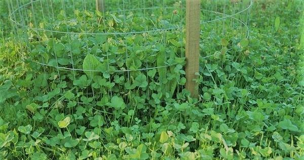 clovers food plot